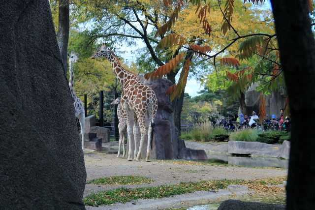 Bending down to drink water is not easy for giraffes.