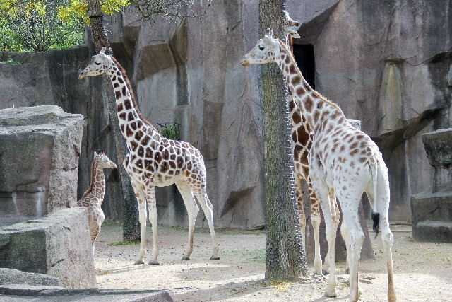 In fact, giraffes don't like water and are not likely to go across a body of water.