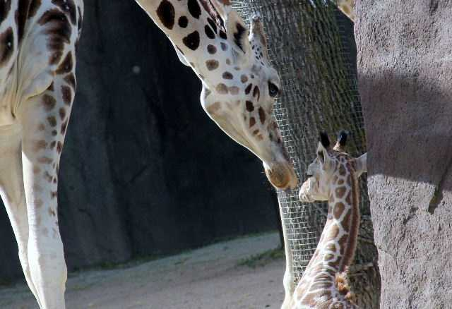 The zoo's newest giraffe has a name.