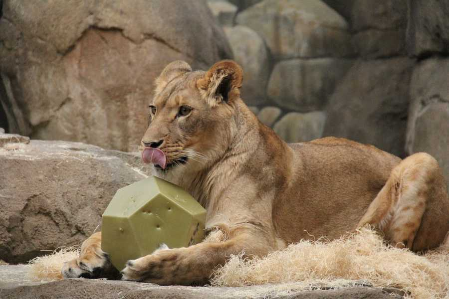 Two new lionesses are not on public exhibit at the Milwaukee County Zoo.