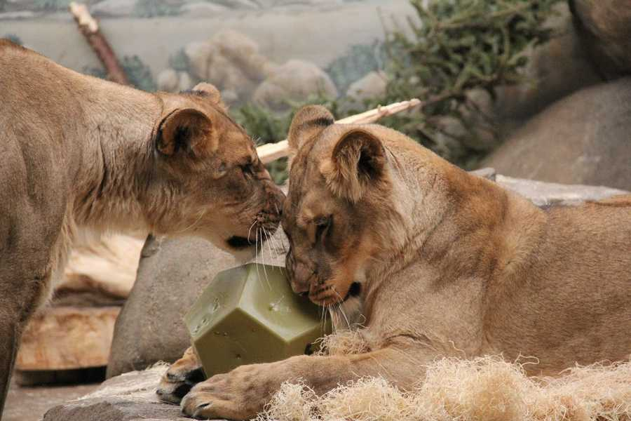 Born just a day apart at two different zoos, the two were raised by the same parents and grew up like siblings.