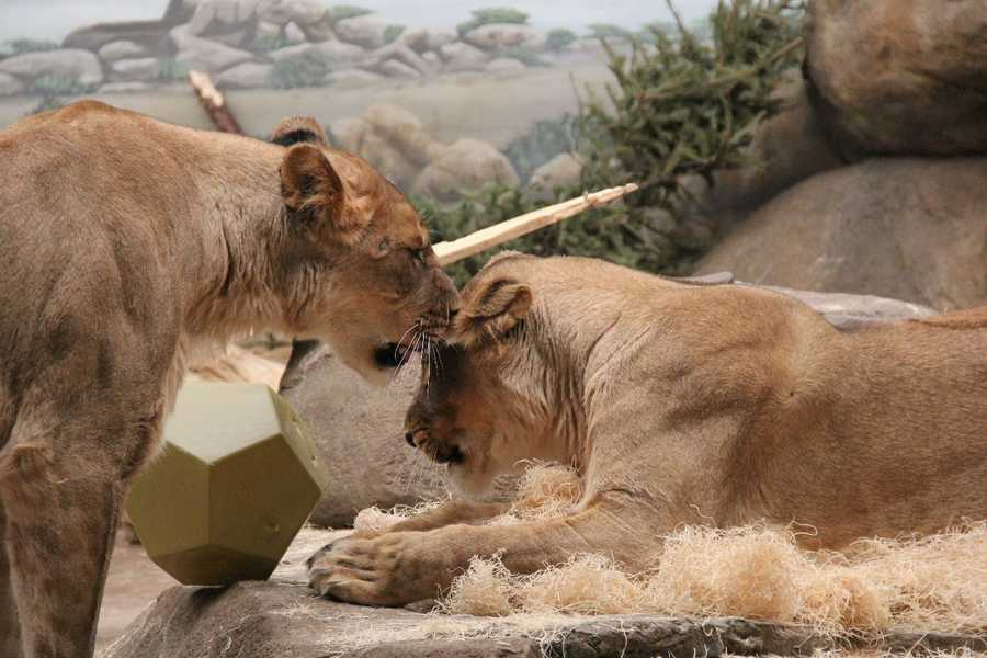 Each of the lionesses weigh around 240 pounds.
