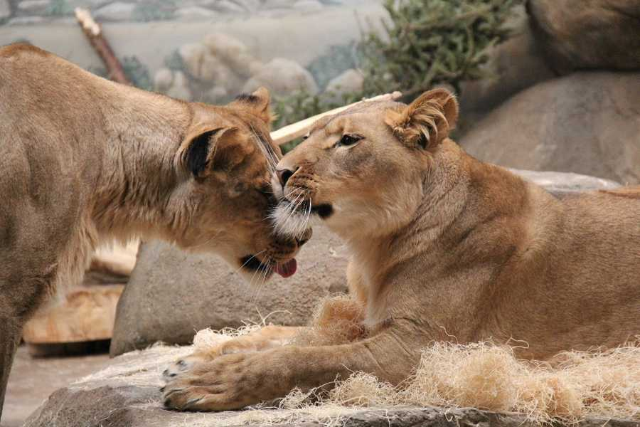 In captivity lions often live into their 20's.