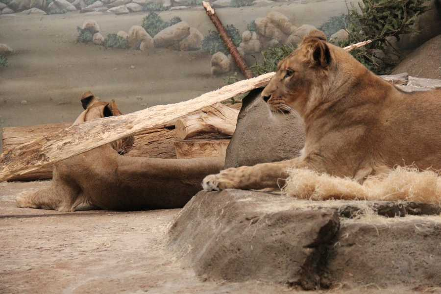 For the foreseeable future these two will not have access to the Zoo's other lion residents.