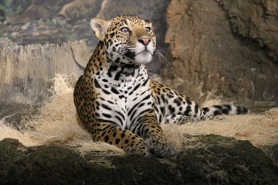Francisco, a male Jaguar, seems equally as interested in Sunny.