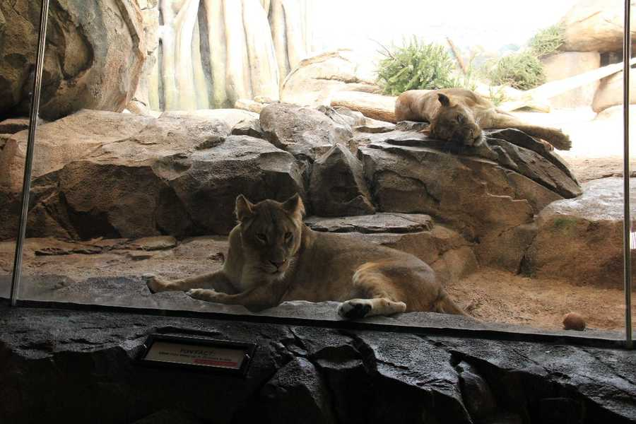 Lions can sleep up to 20 hours a day.