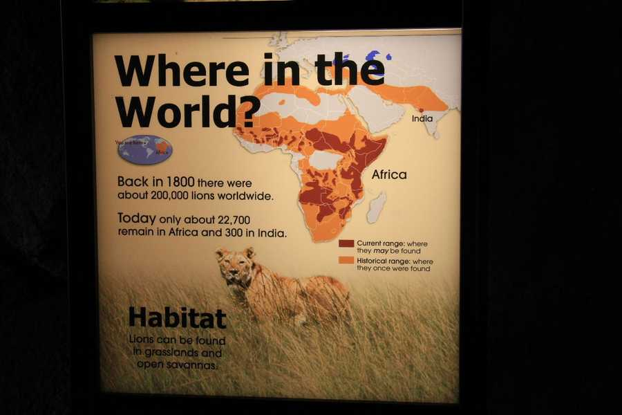 About 23,000 lions remain worldwide.