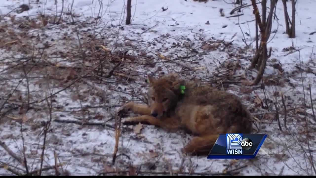 Milwaukee County Parks is using coyote traps for research and to prevent future attacks on pets.