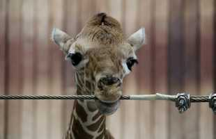 Another giraffe was born at the Milwaukee County Zoo on April 26, 2016.
