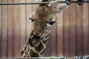 In the wild, giraffes are found throughout the savannas of Africa.