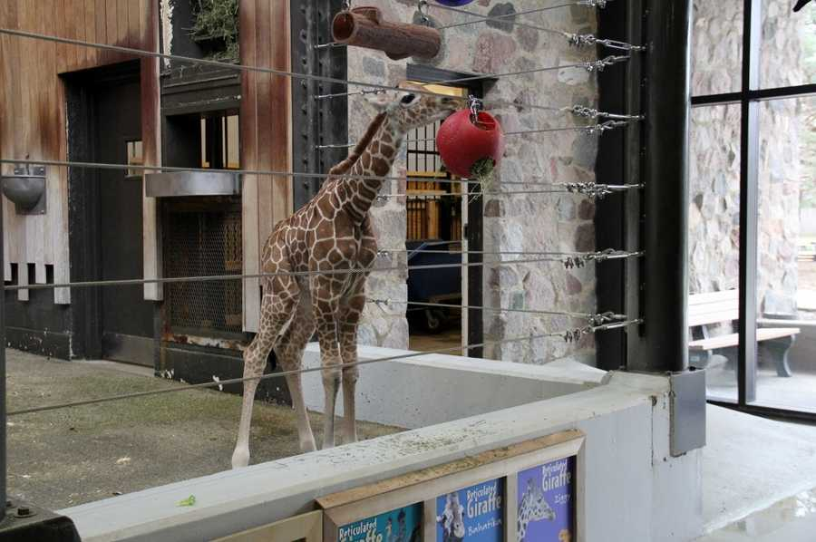 This is the second giraffe born at the zoo since September 2015.