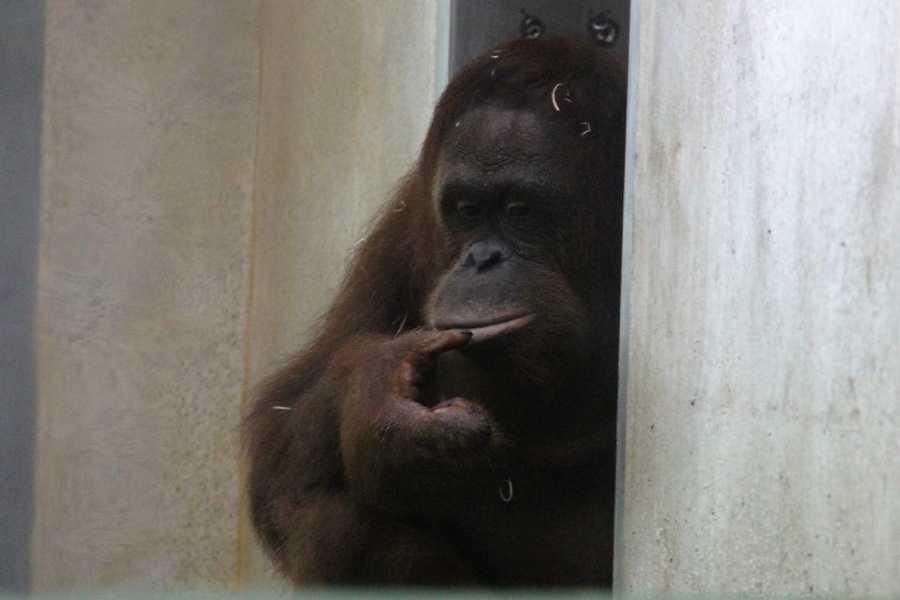 Meet Rayma, the newest orangutan at the Milwaukee County Zoo.