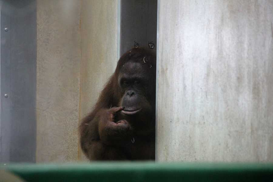 Orangutans are critically endangered due to deforestation in their natural habitat of Indonesia.