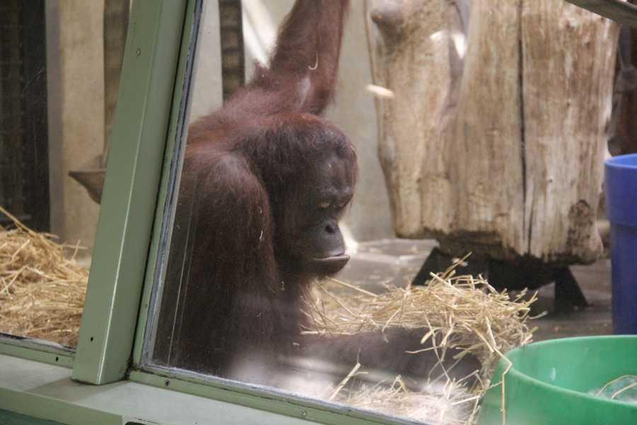 Rayma is an 11-year-old Bornean orangutan.