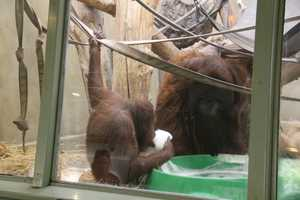 Rayma came to Milwaukee to be a companion to Tommy, the zoo's male orangutan.
