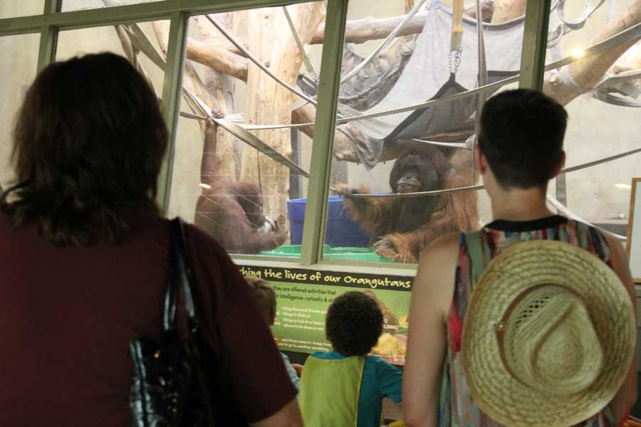 Orangutans share nearly 97% of their DNA with humans and have the ability to reason.