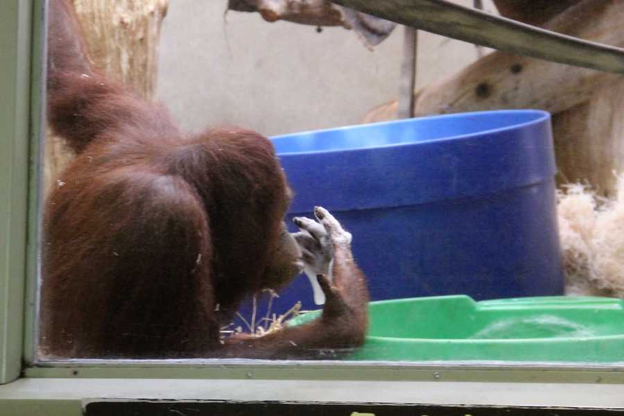 """Orangutan's are also know as """"people of the forest."""""""