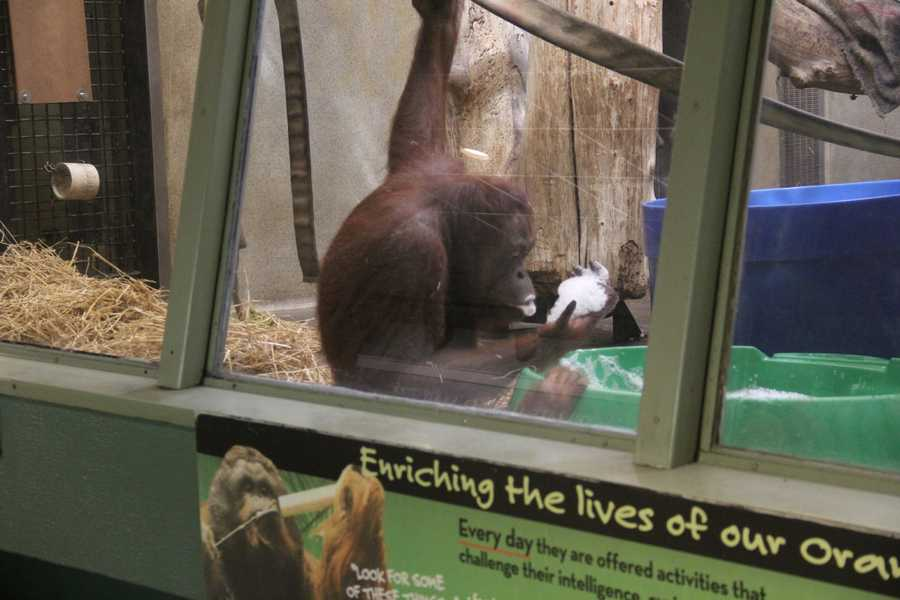 There are two types of orangutans: Sumatran and Bornean.