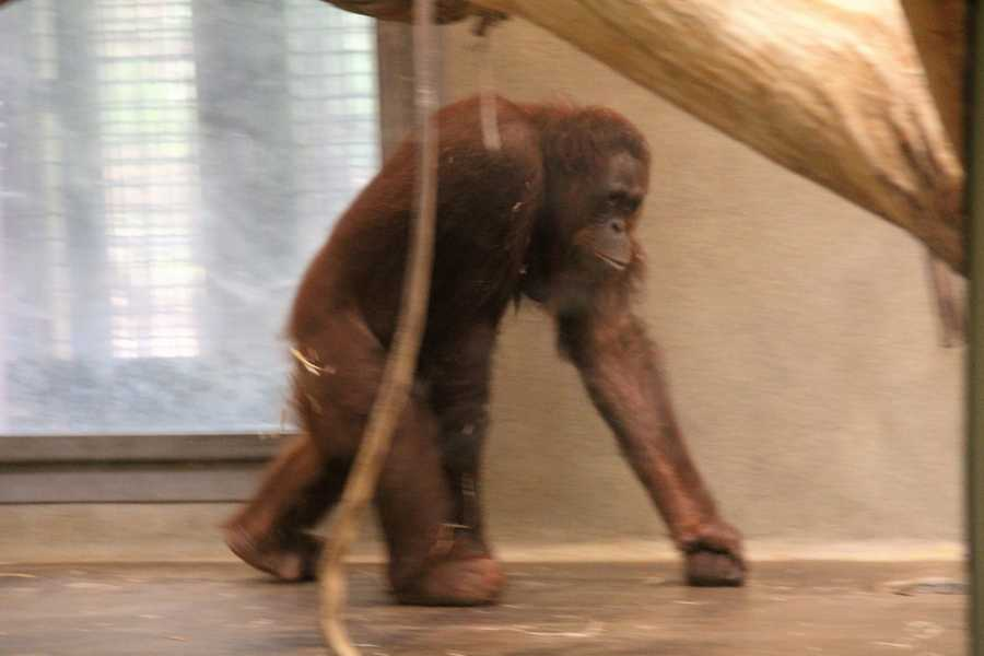 Orangutans can live to be 35-40 in the wild.