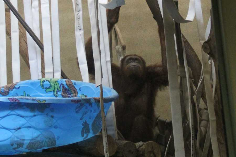 Female orangutans only give birth about once every 8 years.