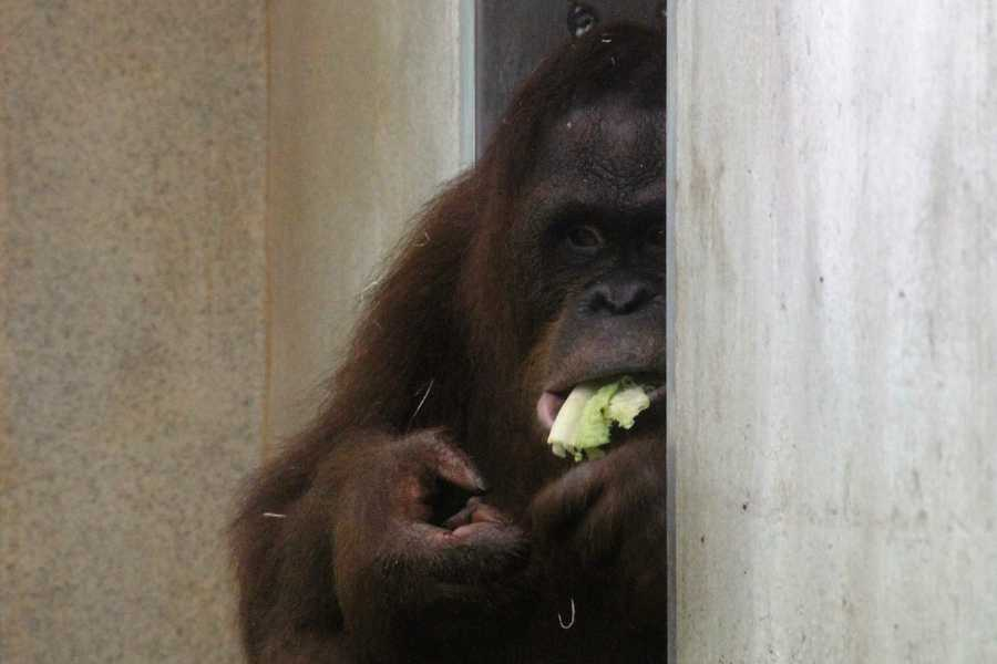 It isn't polite to chew with your mouth open, but it is cute if you are an orangutan!