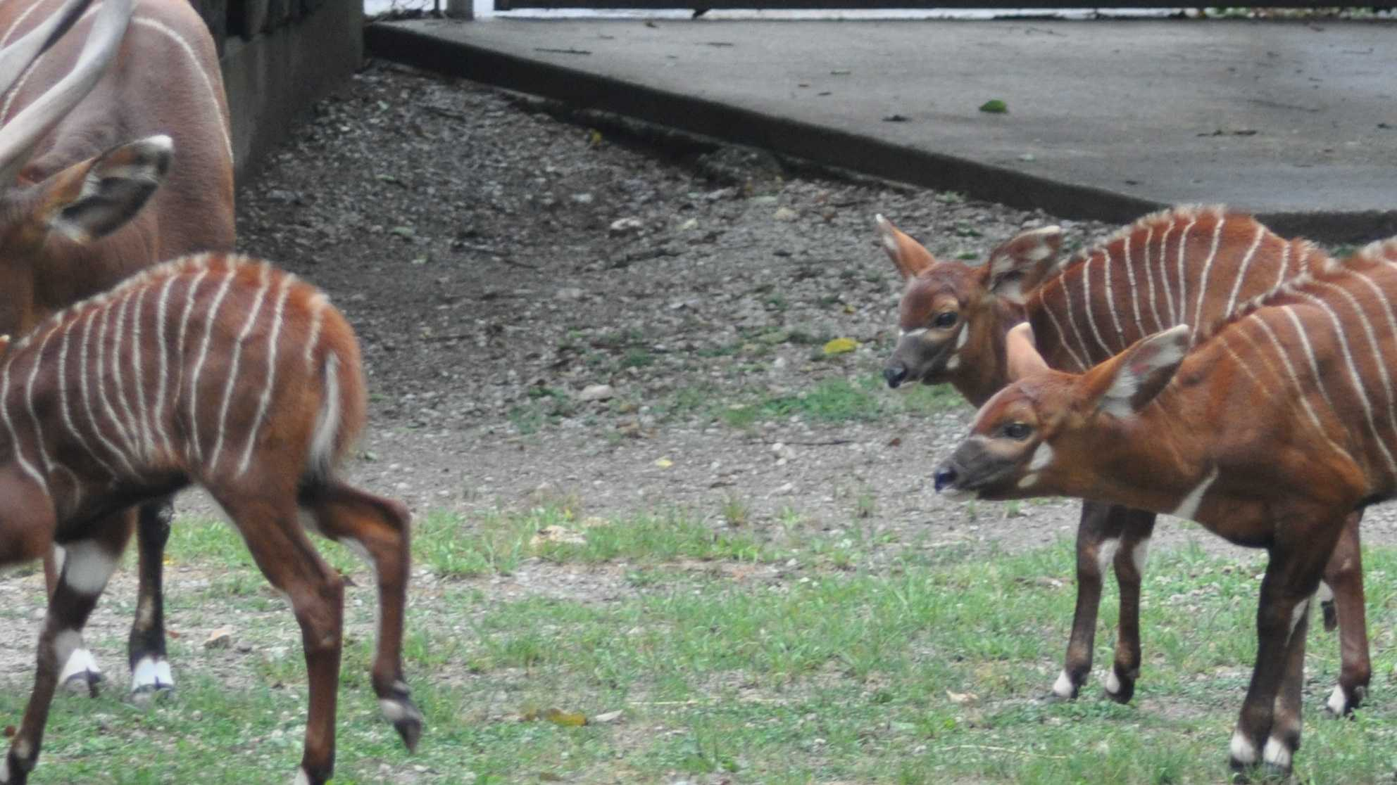 The Louisville Zoo announced the addition of three bongo calves to its family Wednesday.