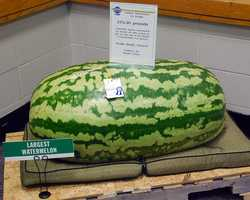 The blue ribbon watermelon at the Kentucky State Fair weighed in at 273.3 lbs, making it one of the five largest watermelons ever grown and the largest on record in the U.S. in this current growing season. Grower is Frank Mudd of Meade County.