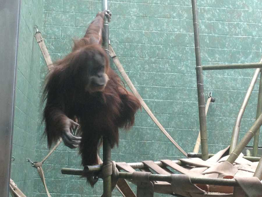 Four orangutans are learning using an iPad.