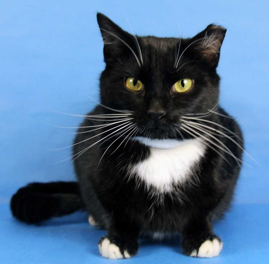 Help your favorite KHS adoption center advance to the next round by helping their featured pet find a home. (Pictured: Koda-Springhurst)