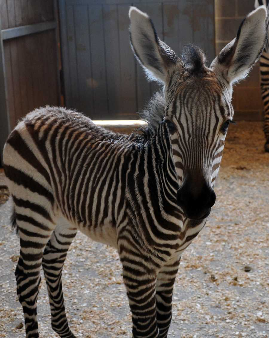 A female zebra foal born at 2:45 a.m. on Jan. 18, 2013. (READ MORE)