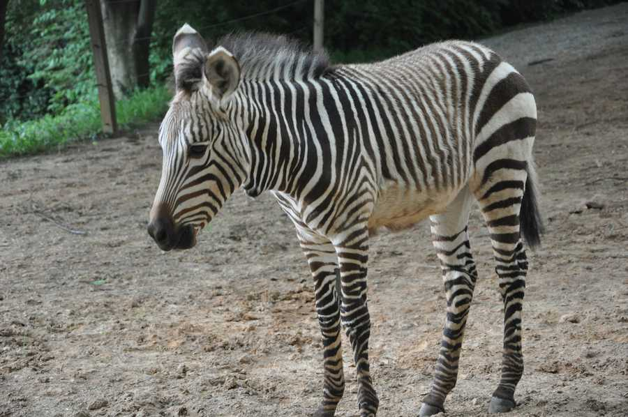 Baby Zebra: June 2013