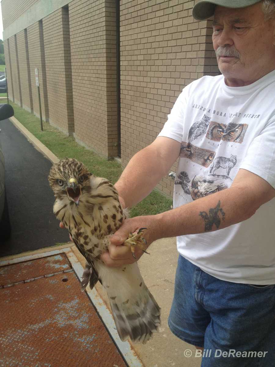 An expert with Kentucky Raptor Rehabilitation was called in to check on the hawk.
