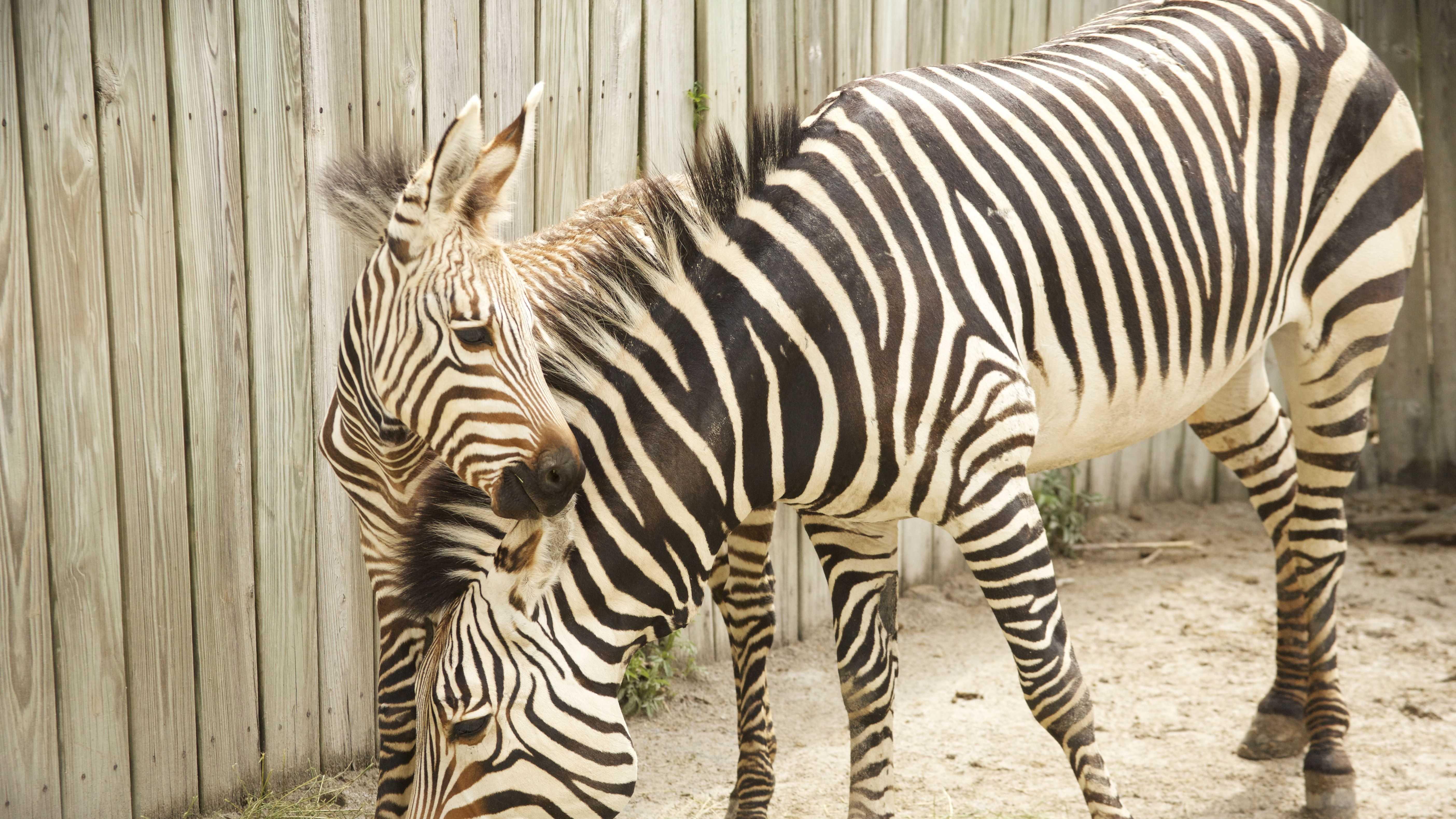 ziva zebra (1).jpg