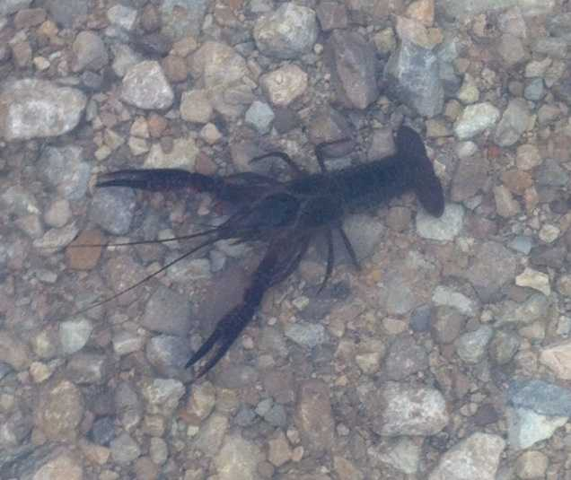 It isn't every day you see a crawfish in the roadway, but that's what WLKY's Christina Mora saw Thursday morning after overnight storms.