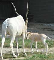 New to the zoo are two addax calves -- a male born in mid-September and a female born in August.