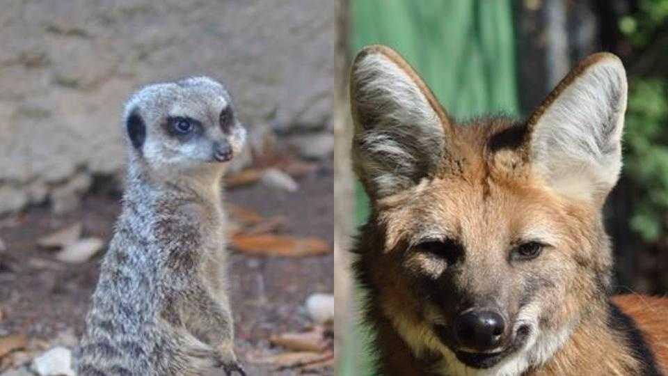 Meerkat and Maned Wolf