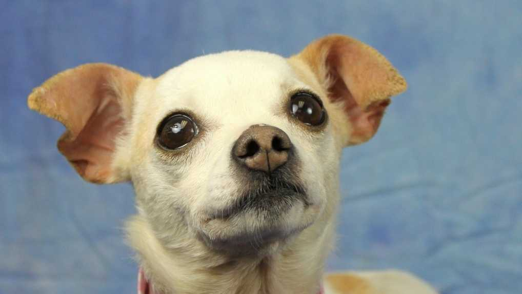 On Monday, May 5, all Chihuahuas and Chihuahua mixes qualify for a one-day $50 off special and Lizzie is looking for a new home!Click here to see other adoptable pets