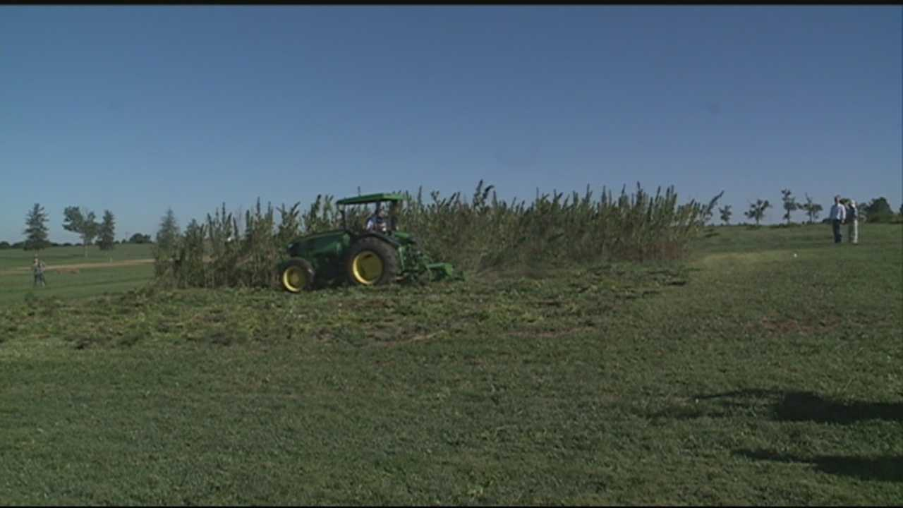 A hemp harvest is underway at the University of Kentucky