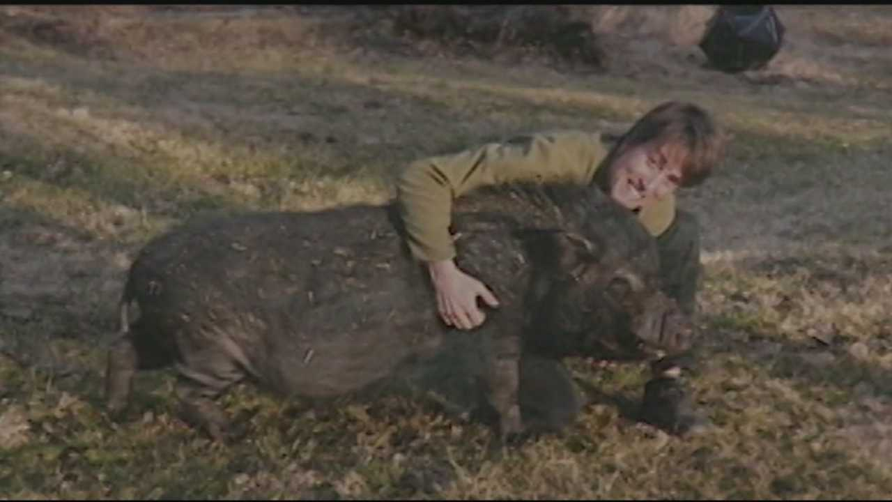 family heartbroken after pet pig is mauled to death