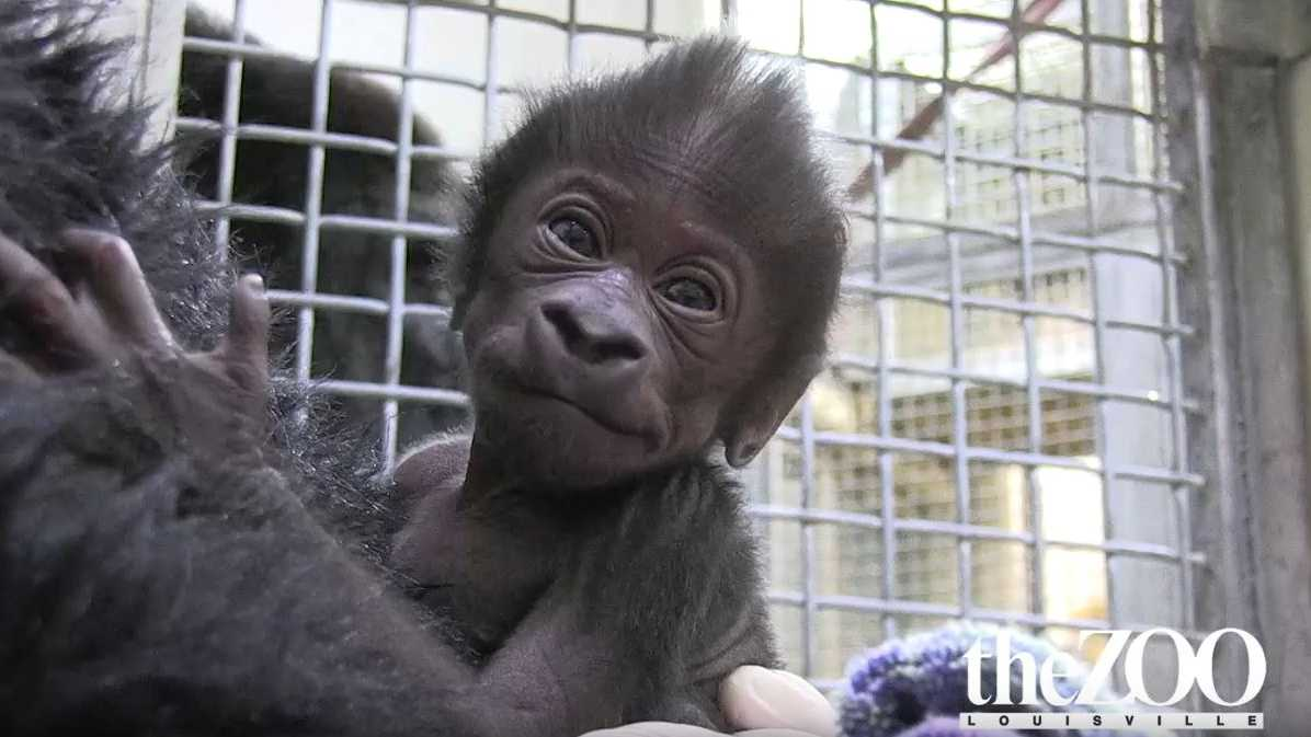 Newborn gorilla (18 days old)