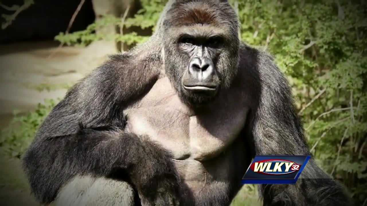 Louisville Zoo officials say there's no need to be worried about the zoo's gorilla exhibit.