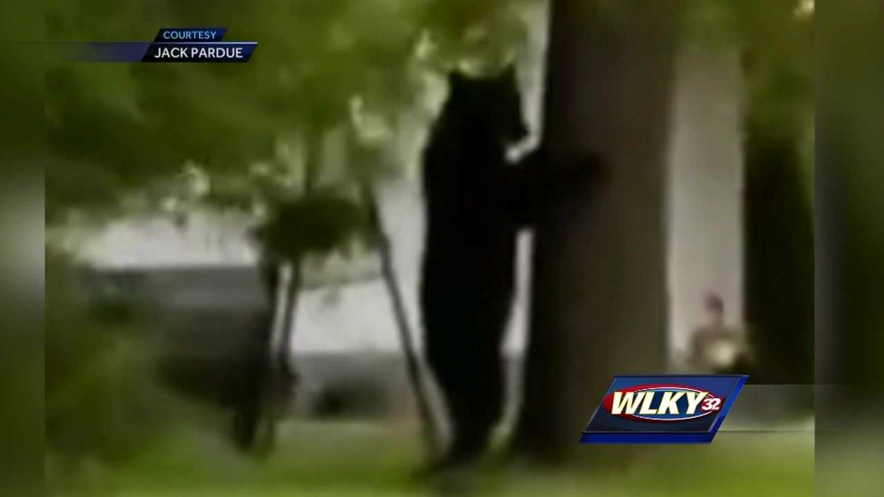 Sightseers in Corydon are snapping pictures and shooting video of a black bear this week.