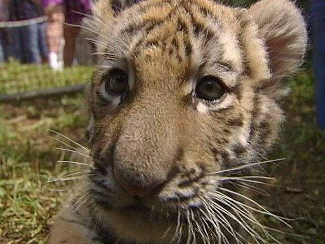 A 9-week-old baby tiger cub is ready to meet visitors at the Pittsburgh Zoo.