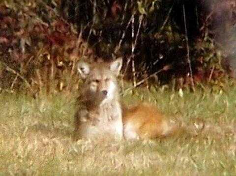 Coyote - 17979172
