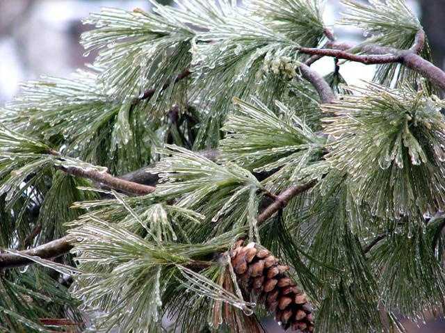 Ice On Tree Generic Freezing Rain 003 - 15280360