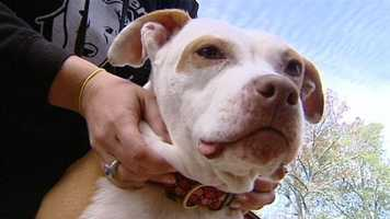 The rescue team that brought her in discovered the abandoned dog was badly beaten and used as bait in a dogfighting ring.