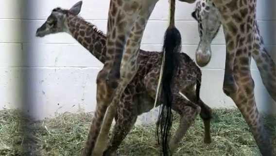 Giraffe birth (15).jpg