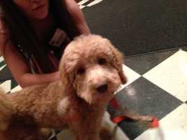 This Labradoodle was an item in the silent auction. She went for $25,000.