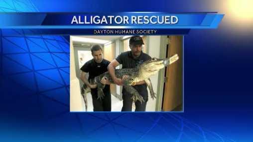 alligator rescued.jpg