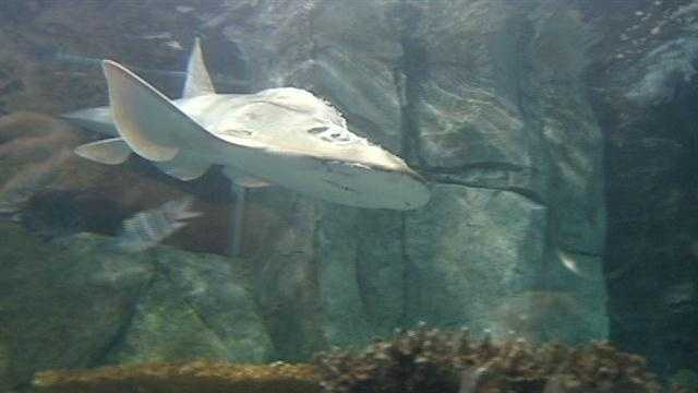 A nearly 7-foot, 240-pound female Shark Ray has been added to Newport Aquarium's Shark Ray collection